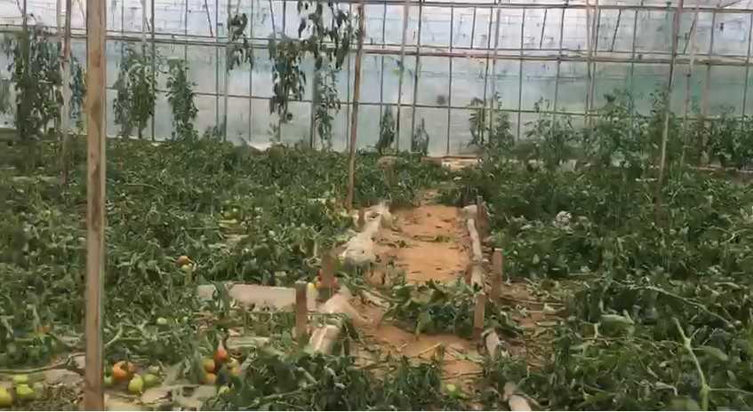 Antalya'da 2.5 dönümdeki domates fidelerini bir gecede kökünden kesip telef ettiler