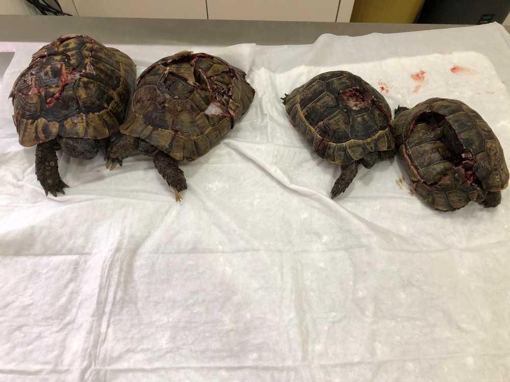 Antalya'daki kaplumbağa katliamına soruşturma
