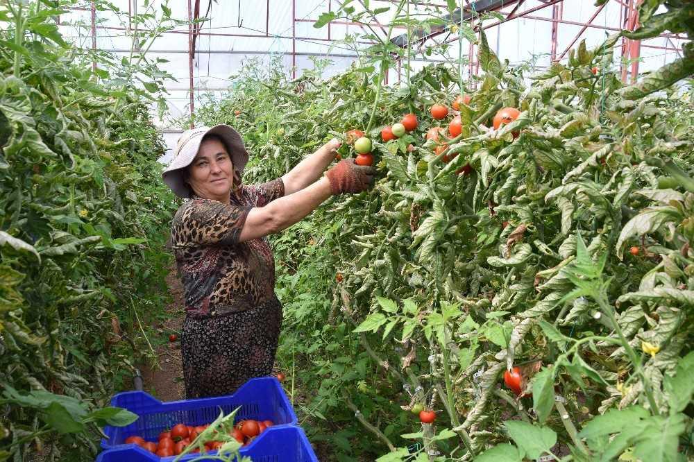 Antalyalı çiftçiler bayramda da üretime ara vermedi