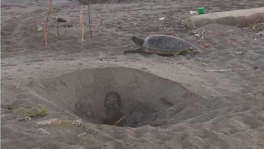 Antalya sahillerinde caretta carettaların yumurtlama dönemi sürüyor