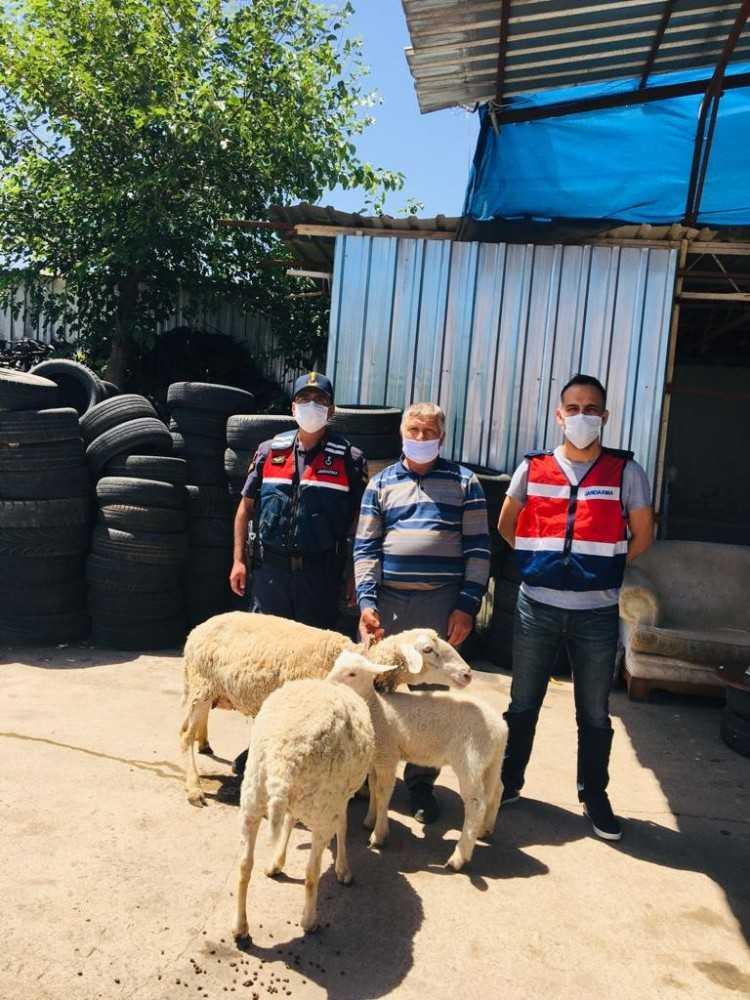 Antalya'da koyun hırsızı jandarmadan kaçamadı