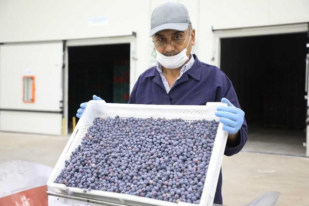 Antalya'dan Hong Kong'a yaban mersini ihracatı başladı