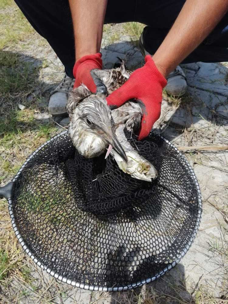 Oltaya takılmış balık yutan martı tedavi edilip doğaya bırakıldı