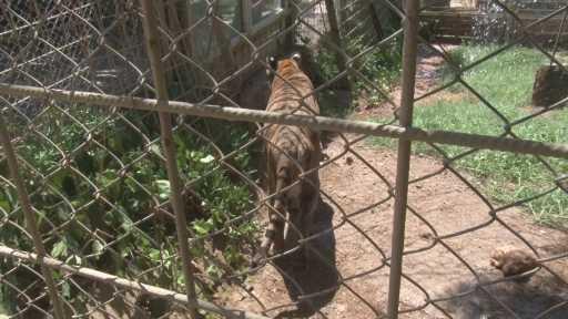 İllüzyonist Aref'in Bengal kaplanı hayvanat bahçesinin maskotu oldu