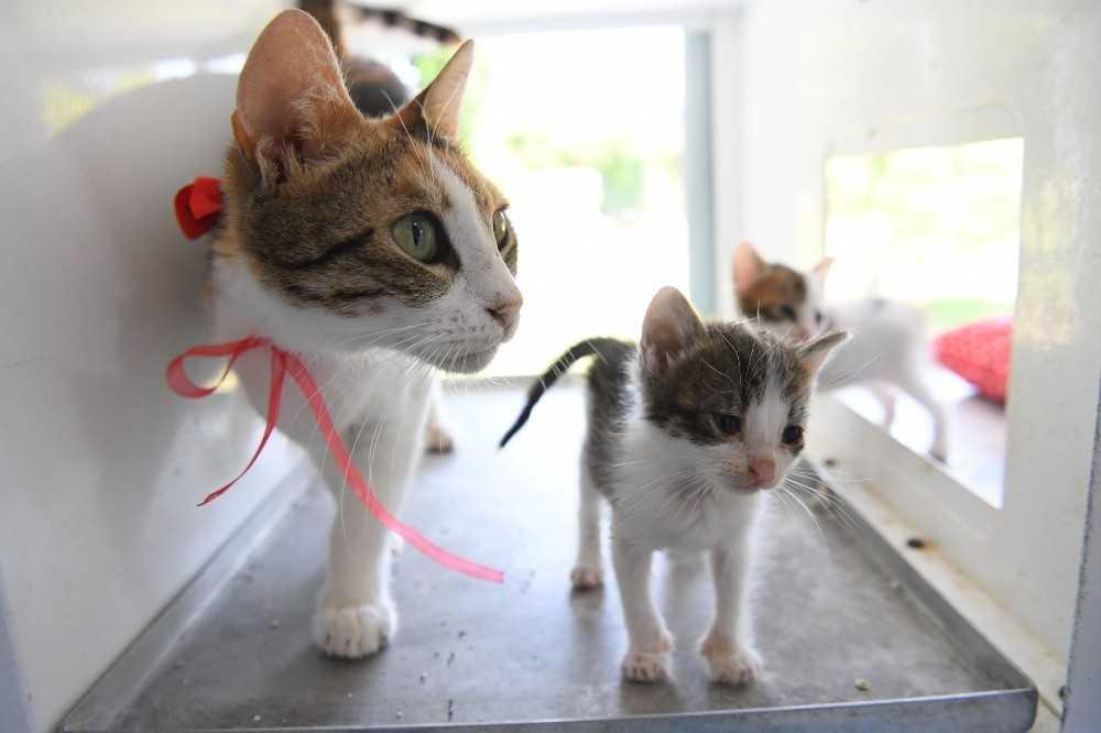 Konyaaltı Belediyesinden lohusa dönemindeki kedilere özel ilgi