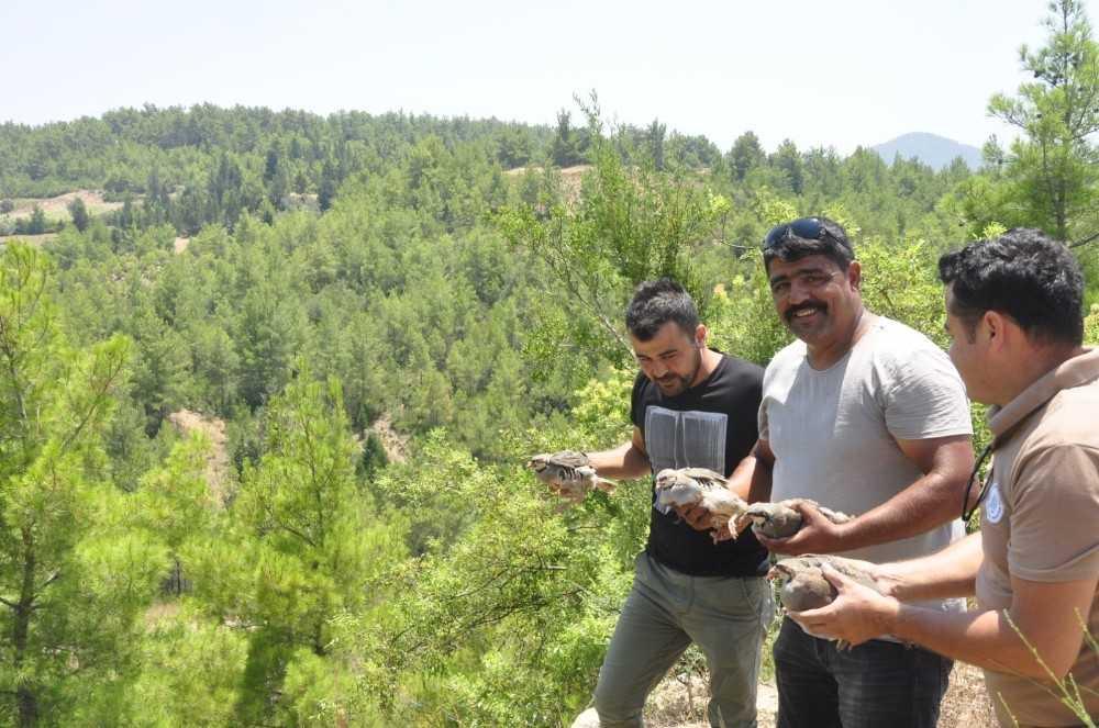 Manavgat'ta popülasyonun artması için ormana 50 keklik salındı