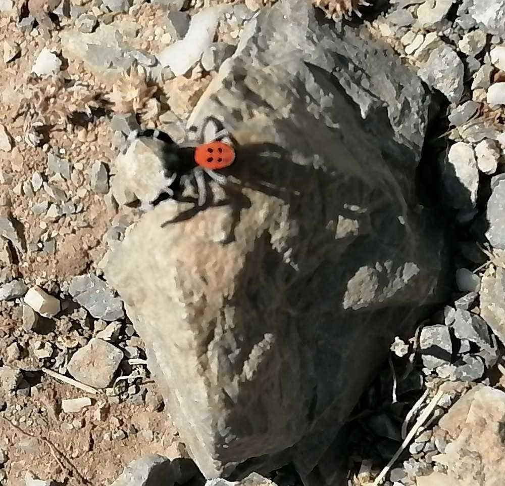 Soyu tehlike altında bulunan zehirli ve saldırgan örümcek Gazipaşa'da görüntülendi