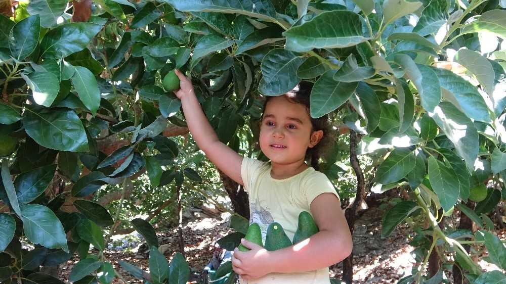 Antalya'da 45 bin dekarda hasadına başlanan avokadoda hedef 70 milyon adet
