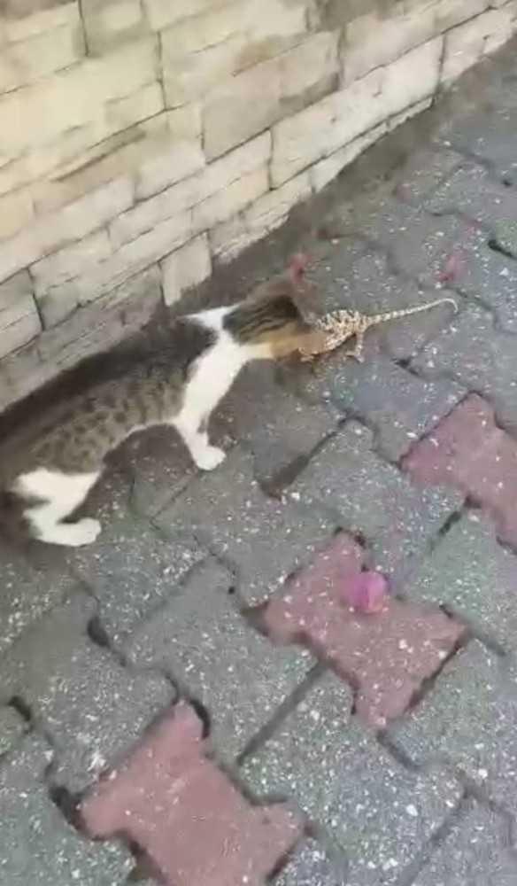 Kedi ile bukalemunun kavgası