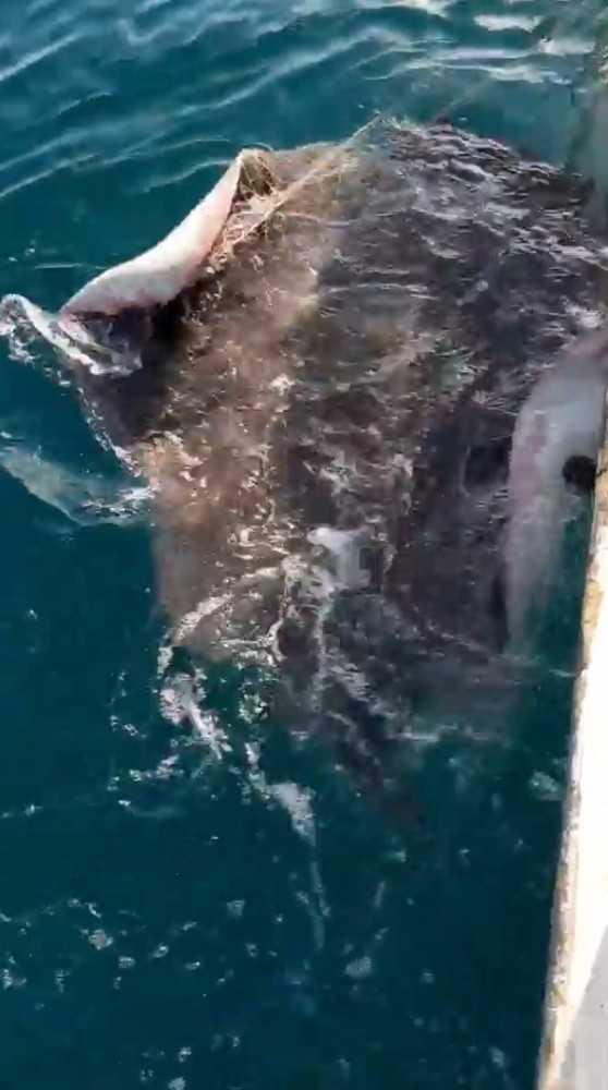 Antalya'da balıkçıların ağına dev vatoz balığı takıldı