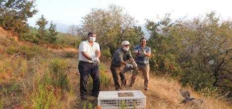 Antalya'da yüzlerce keklik doğaya salındı