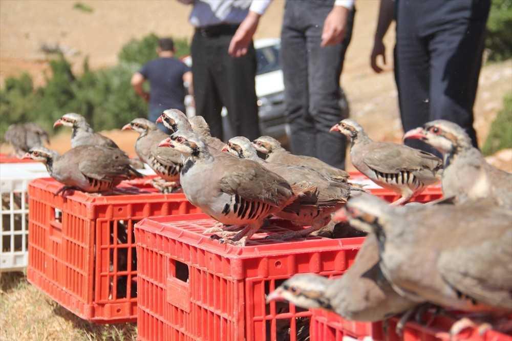 Korkuteli'nde 725 keklik doğaya salındı