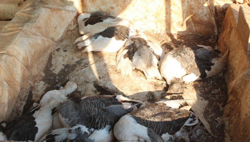 Kümes hayvanlarının telef olduğu çiftlikte yürek sızlatan görüntüler