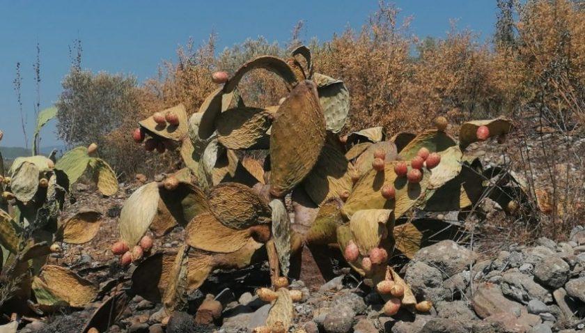 Tarım arazisindeki yangın, zeytin ağaçları ve Frenk incirlerini kül etti