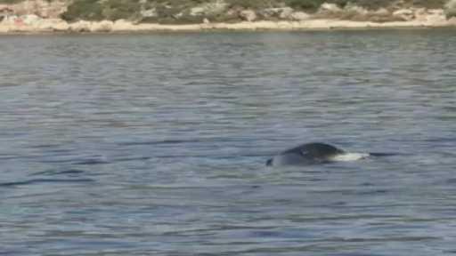 Akdeniz fokunun denizdeki poşetle imtihanı