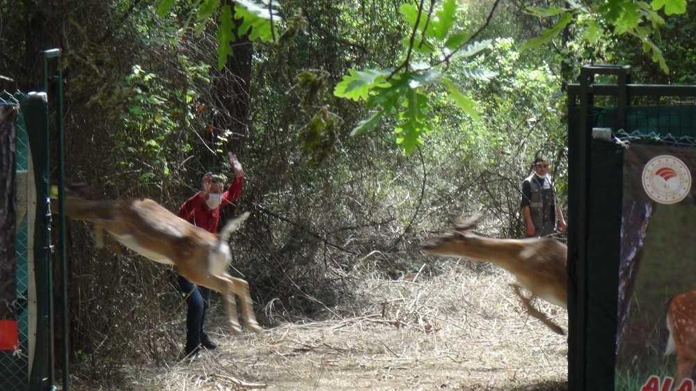 Antalya'da 2 dişi  alageyik doğaya bırakıldı