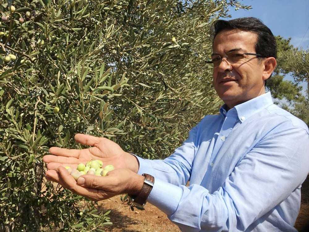 Antalya'nın 'Beylik zeytini' çeşit olarak tescillendi