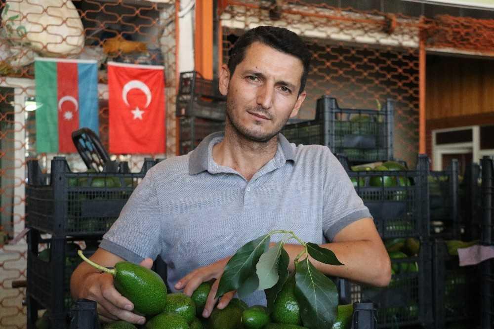 Artan avokado hırsızlığı üreticileri isyan ettirdi