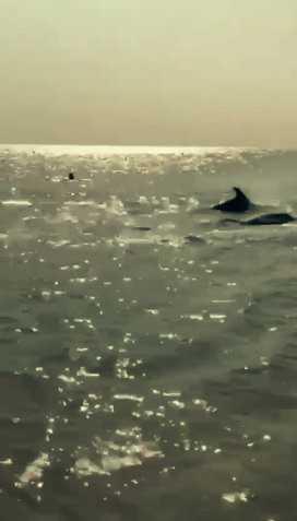 Sahile kadar gelen yunuslar turistlerle birlikte yüzdü