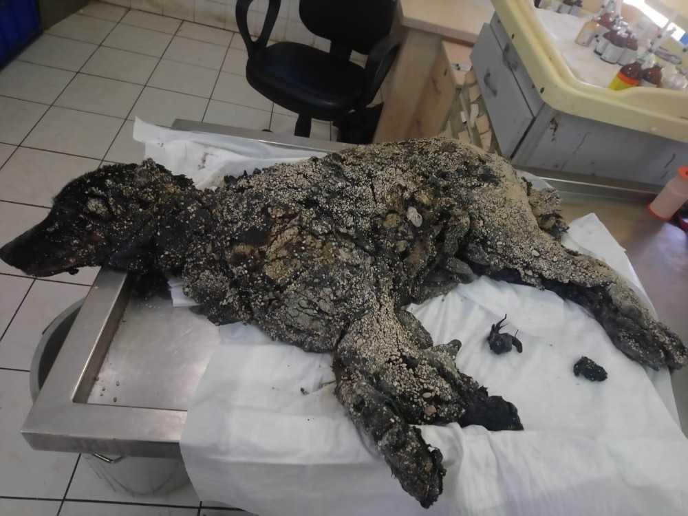 Üzeri sıcak zifte bulanıp çakıl taşları katmanı oluşan köpek hayata tutunmayı başardı