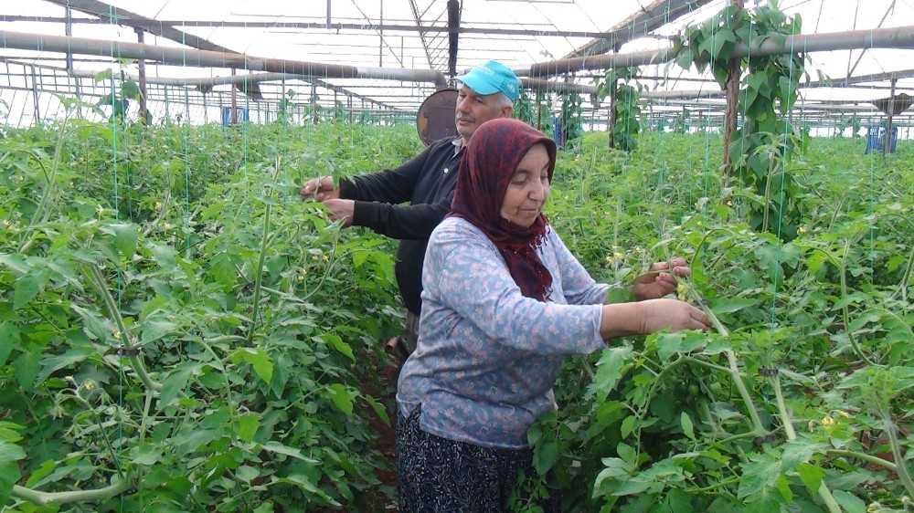 Antalya'da domates üreticisi kışa hazırlanıyor
