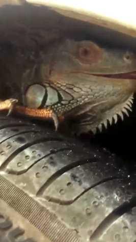 İguana'nın inadı