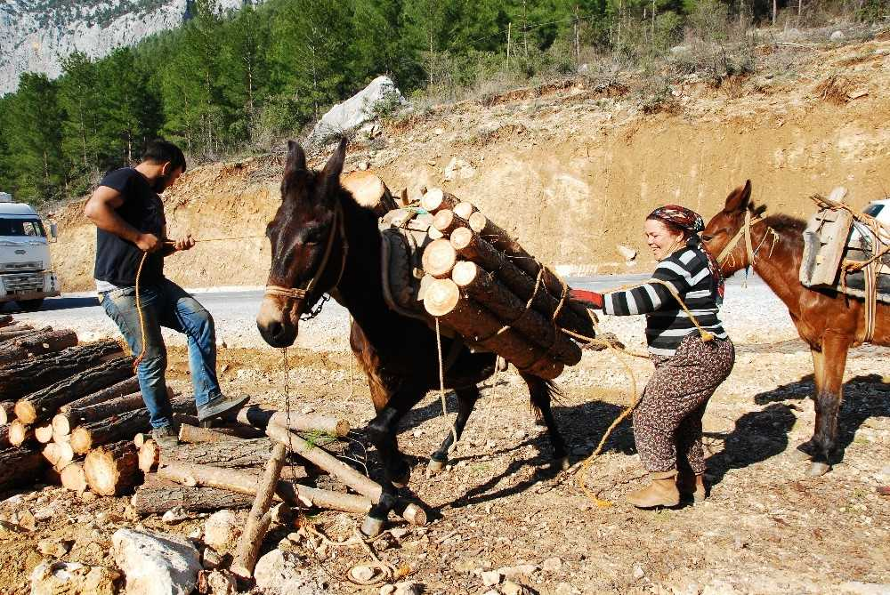 Kışın Çam, yazın Ladin ağaçlarının izini sürüyorlar, günde 500 ile 750 lira kazanıyorlar