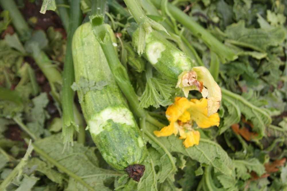 Manavgat'ta şiddetli dolu sera ve bahçeleri  vurdu