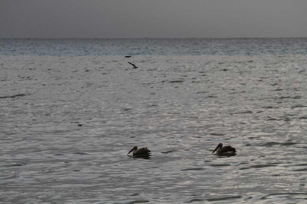 (Özel) Denize inen Pelikanları görenler cep telefonuna sarıldı