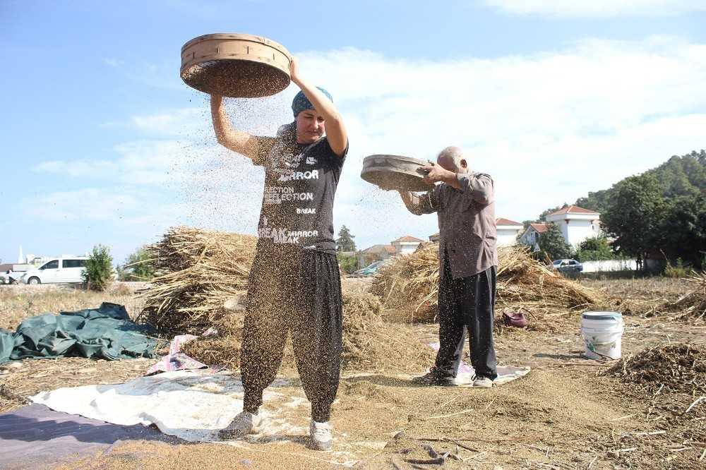 Turizm bölgesinde susam tarımı yeniden ayağa kalkıyor