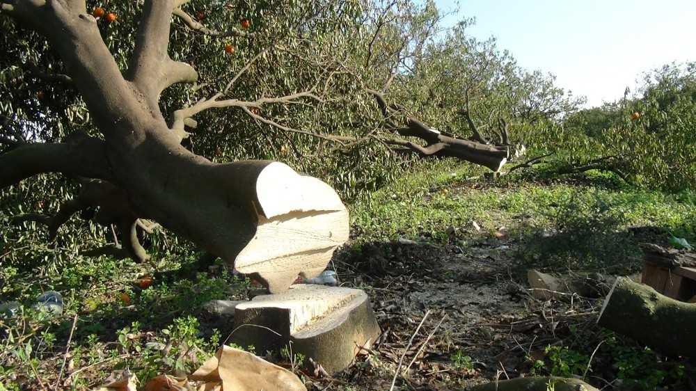 Antalya'da binin üzerinde narenciye ağacının sera için katledildiği iddiası