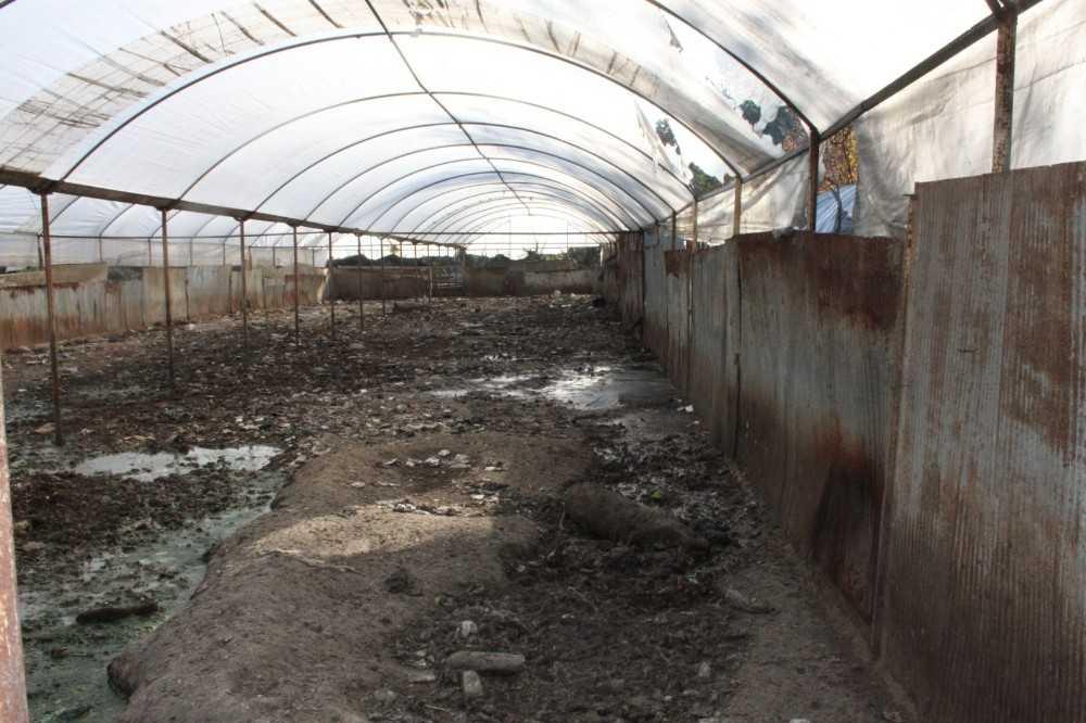 Kaldırılan domuz çiftliğinin atıkları mikrop saçıyor