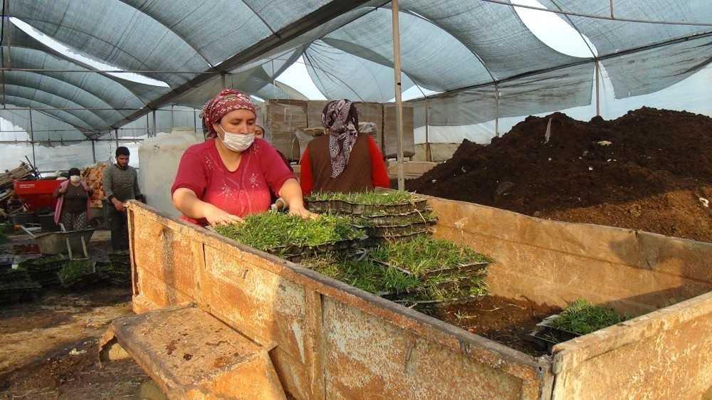 Susuzluğa dayanıklı hazır çim büyük rağbet görüyor, metrekaresi 20 liradan satılıyor