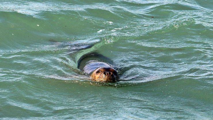 Nesli tükenme tehdidi altındaki Akdeniz foku, Boğaçayı'nda avlanırken objektiflere yakalandı
