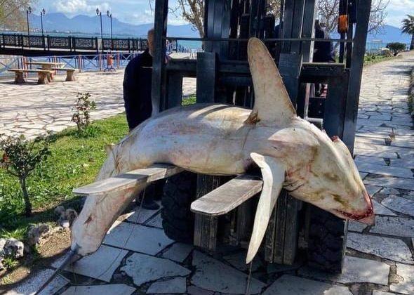 Nesli tükenmek üzere olan köpek balığı ölüsü sahile vurdu