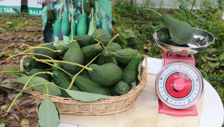 (ÖZEL) Türkiye'de ilk kez serada üretilen avokadonun hasadı yapıldı