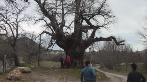 Bin 100 yıllık 'tescilli kestane ağacı' hüzünlü hikayesi ile ilgi çekiyor