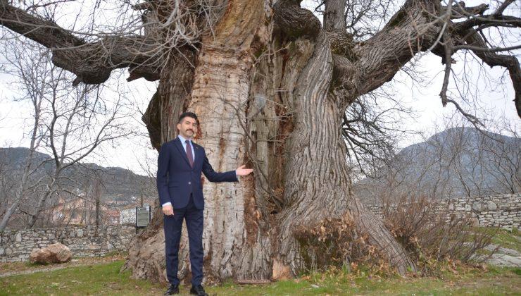 Bin 100 yıllık tescilli kestane ağacı tarihe tanıklık ediyor