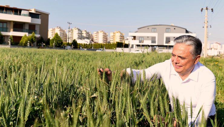 Muratpaşa'nın buğdayları başak verdi