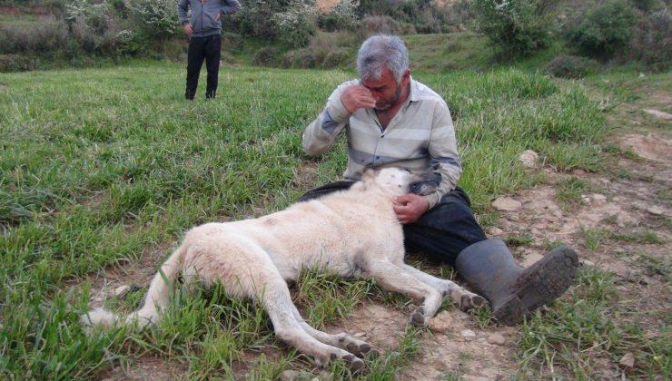 (ÖZEL) Vurularak öldürülen çoban köpeğinin başında gözyaşlarına boğuldu