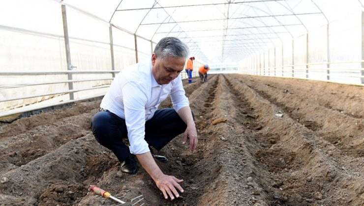 Şifa kaynağı zencefil Muratpaşa'da üretiliyor