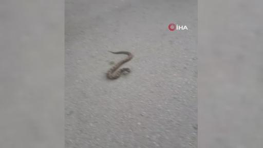 Sokakta gördükleri zehirli Engerek yılanını elleri ile yakalayıp bidona koydular