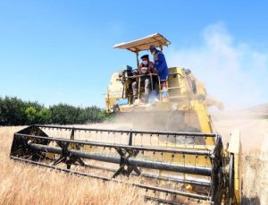Ata tohumu buğdaylar başak verdi