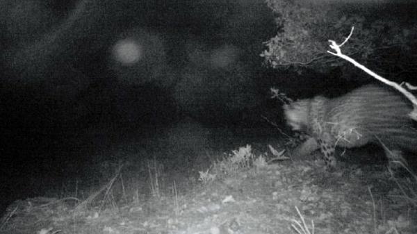 Cudi eteklerinde yok olduğu düşünülen Anadolu parsından 3 fotoğraf