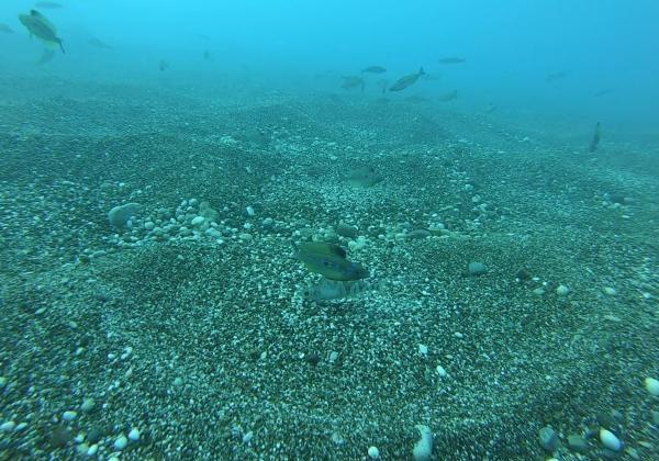 İzmarit balıklarının yuva telaşı