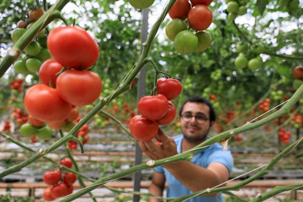 Kısıtlamadan muaf çiftçi Hindistan cevizi kabuğundan domates üretiyor