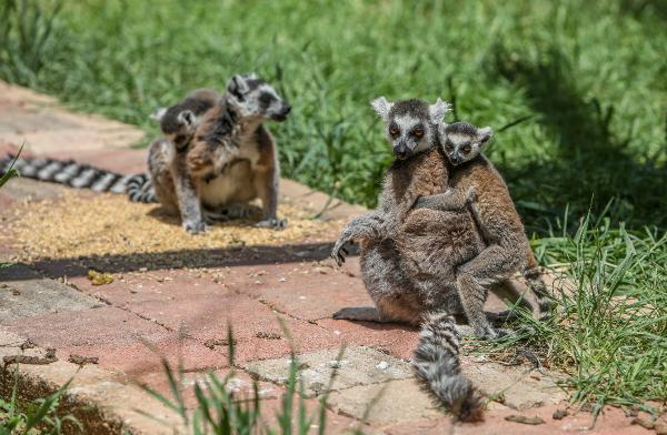 Lemurlar, annelerinin sırtında büyüyor