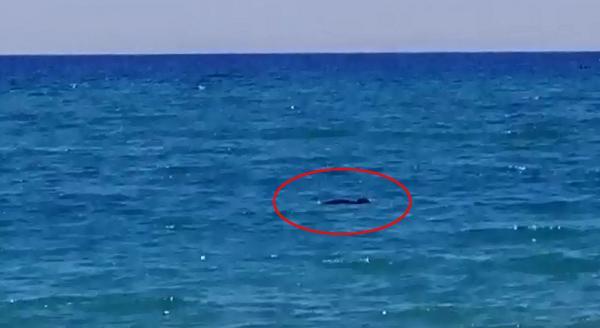 Manavgat sahilinde Akdeniz foku görüldü