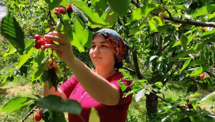 (ÖZEL) Antalya'da buruk erkenci kiraz hasadı