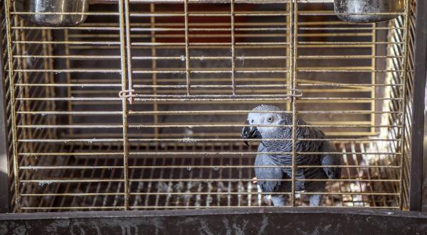 Papağan 'Çapkın', 65 yaşını kutladı